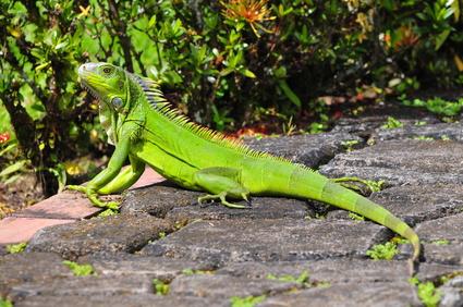 Grüner Leguan beim Sonnenbaden